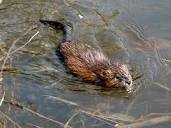swimmingmuskrat