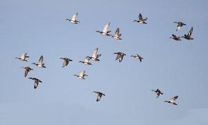 1-flying-ducks-frank-nicolosi