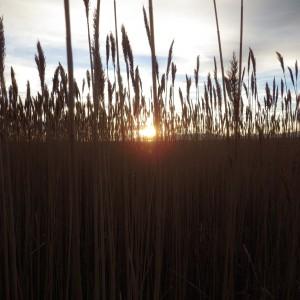 SunsetThroughThePhrags copy