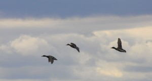 three-flying-ducks