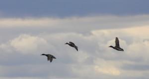 three-flying-ducks